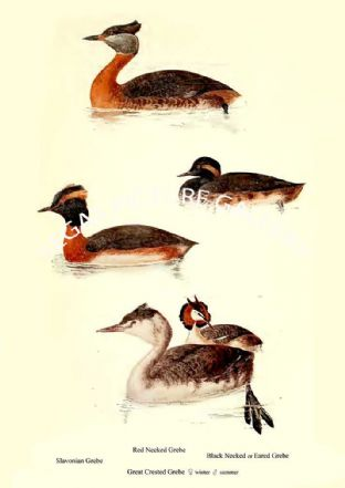 Slavonian Grebe, Red Necked Grebe, Black Necked or Eared Grebe & Great Crested Grebe